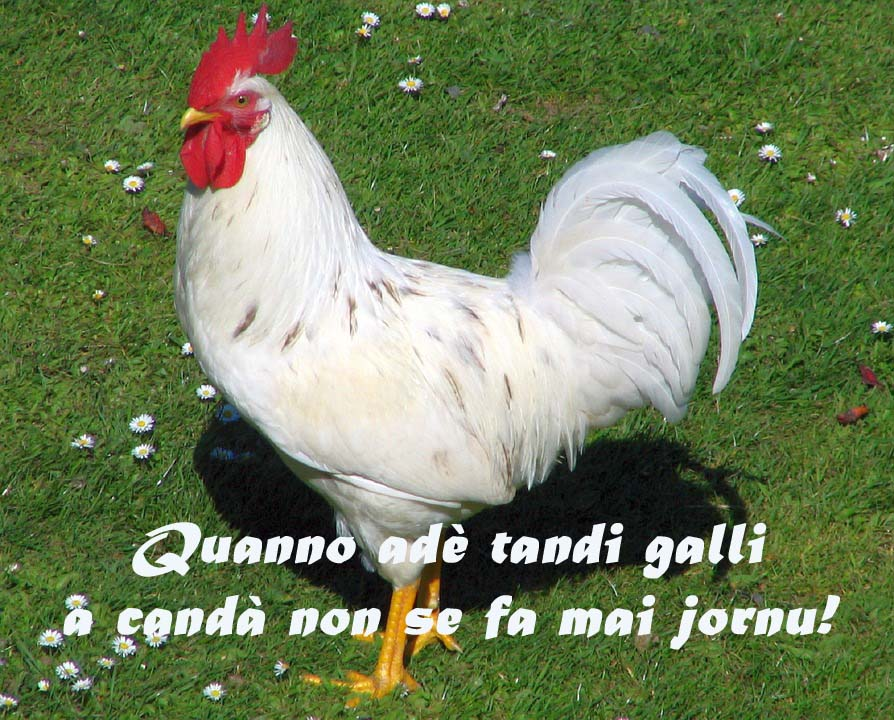 gallo copia