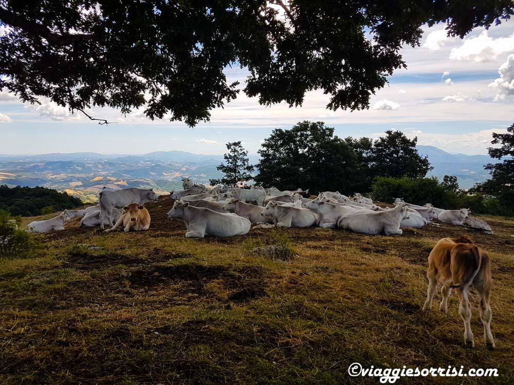Mucche al pascolo Sestino