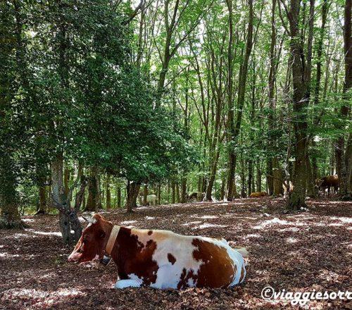 foresta umbra mucche