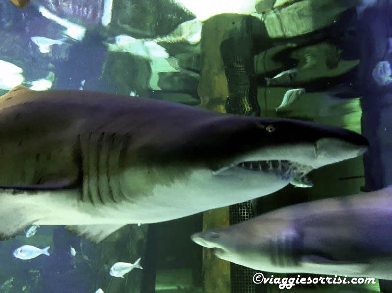 squali acquario di cattolcia