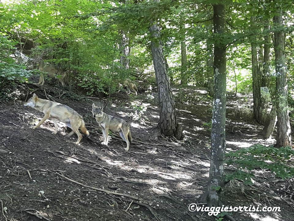 lupi parco faunistico spormaggiore