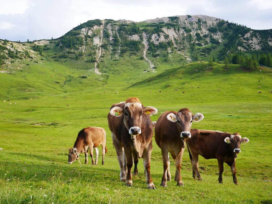 mucche mondolatte dobbiaco