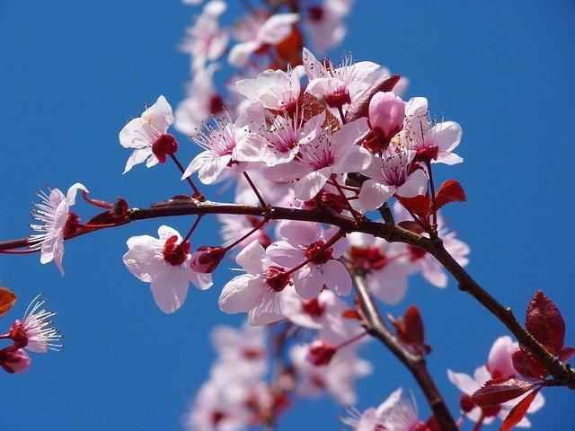 fioritura ciliegi marche