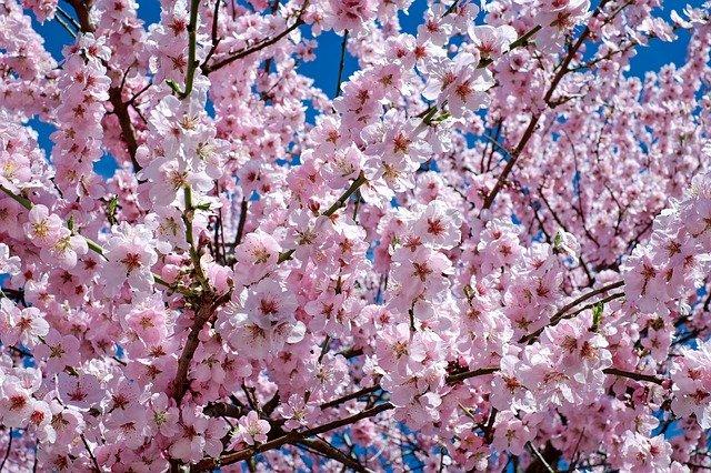 marche ciliegi fioritura