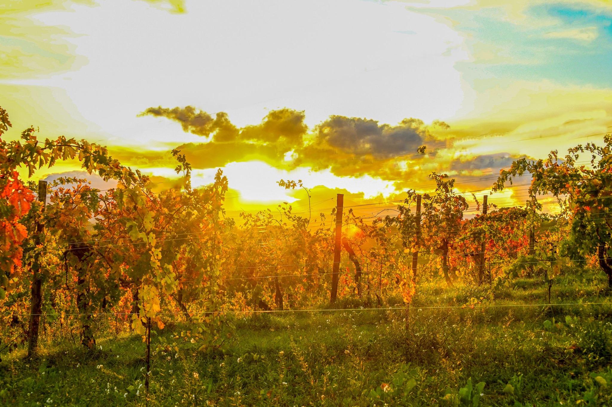 vigneto valdaso autunno